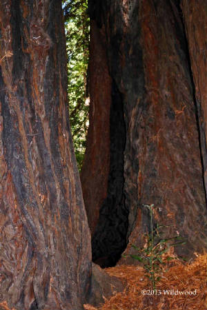 Redwood tree with fire scars