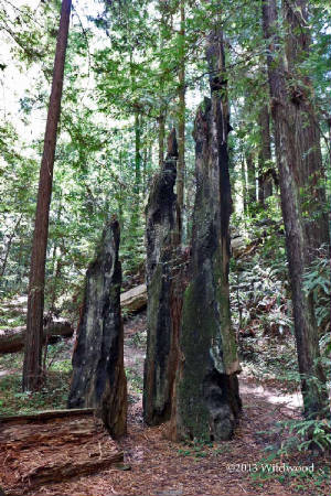 Redwoods Cathedral