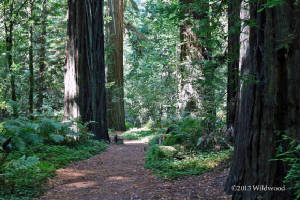 Chaney Grove at Humboldt Redwoods
